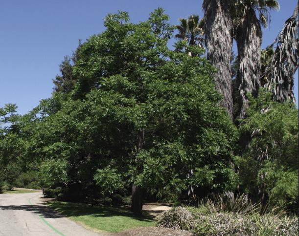 costa rica nature Cedrela fissilis