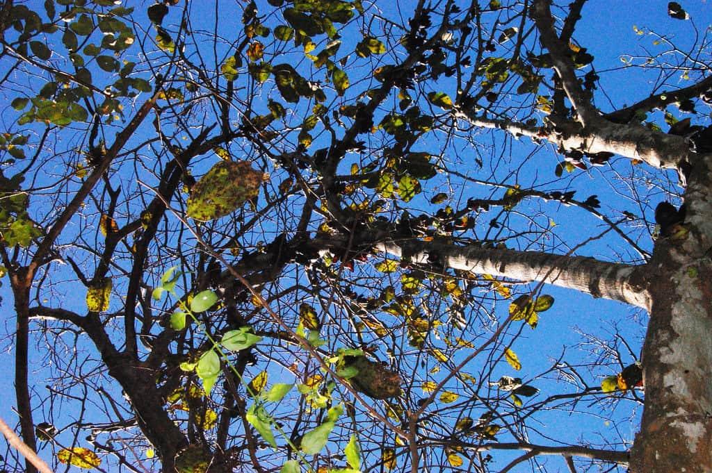 costa rica nature The Sapranthus Palanga